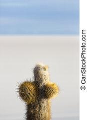 Small cactus and the Salar of Uyuni with blue sky, Bolivia