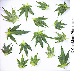 Small cannabis leaves isolated over white - medical...