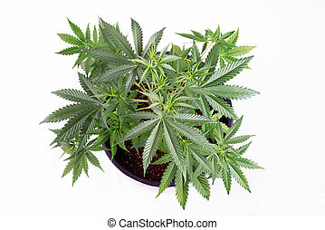 Small cannabis pottet plant (dark angel strain) isolated...