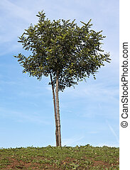 Carob tree - Small Carob tree (Ceratonia siliqua) with stake...