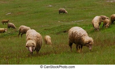 Small cattle. Herd of sheep.
