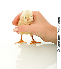 Small chicken in woman hand