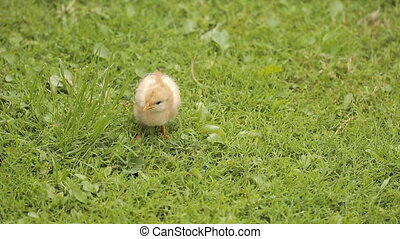 Small Chicken On Green Grass