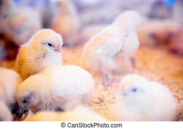 Small chickens in farm incubator or coop. Farmland industry