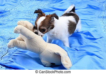 small chihuahua puppy is fighting