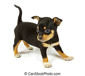 small chihuahua puppy on the white background
