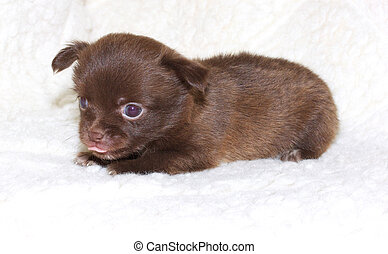 small chihuahua puppy
