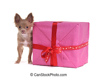 Small chihuahua puppy with big gift box