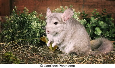 Small chinchilla sitting on straw - Small beige color...
