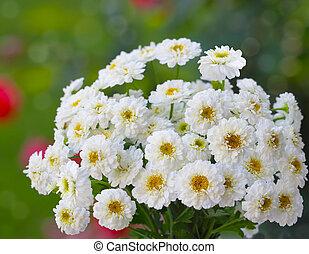 Small Chrysanthemum
