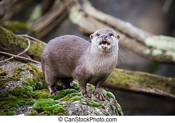 small-clawed, oriental, otter.