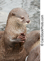 Small-clawed otter praying