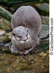 Small-clawed otter waiting