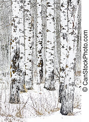 Small cluster of Aspen trees in winter with white snow and bark