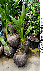 Small coconut tree ready to plant