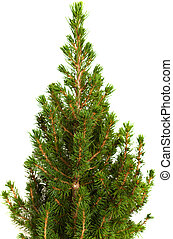 small conifer tree isolated on white