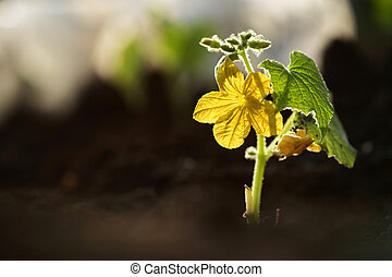 Small cucumber plant with flower growing from soil outdoors