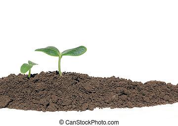 Small cucumber seedling