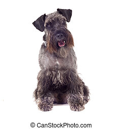 small curious Schnauzer (1 year) in front of a white background