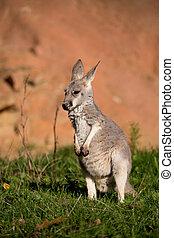 red kangaroo baby