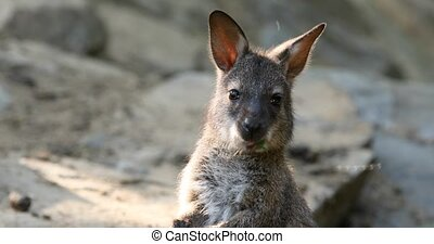 small cute baby of kangaroo feeding, Red necked Wallaby on...