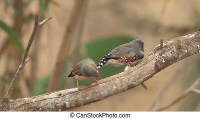 Small Cute birds, finchs birds on the tree branch. 4k clip .