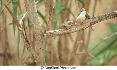 Small Cute birds, finchs birds on the tree branch. Slow...