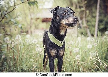 Small cute dog in a dandelion meadow