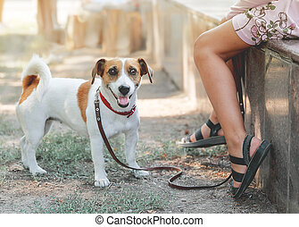 Small cute dog Jack Russell Terrier standing next to the legs of a girl outdoor