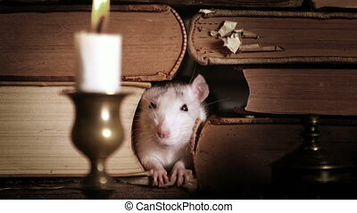 Small cute gray rat crawls between old books - Small pretty ...