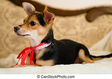 small cute pinup dog with red ribbon lying in bed looking to...