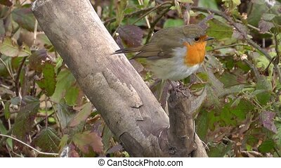 Small cute tiny orange bird parrot sitting on green tree branch observing wild nature in incredible close up view