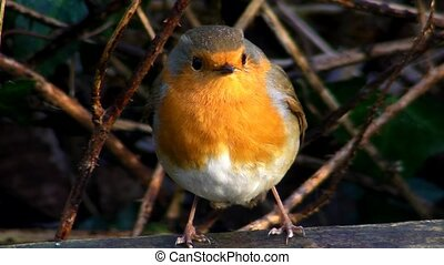 Small cute tiny orange bird parrot sitting on green tree branch observing wild nature in stunning close up view