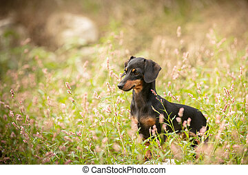 Small dachshund in the grass