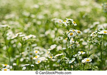 Small daisies background