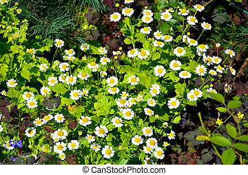 Small daisies grow in the flower bed. Flowering shrubs in the garden design. Beautiful summer landscape on a summer day.