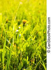 Small dandelion in a meadow