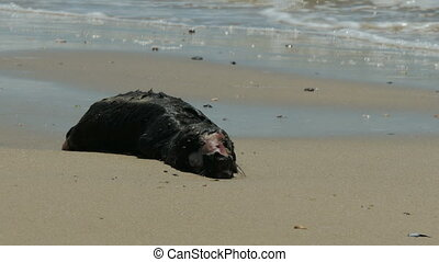 Small dead sea lion decomposing on a beach in Uruguay