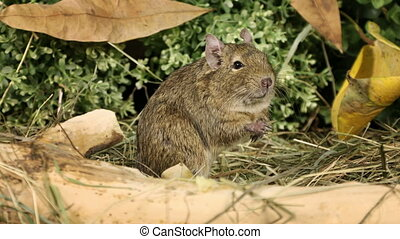 Small degu standing on hind legs and looks around in the...