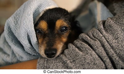 Small Dog After Bathing Wrapped in a Towel - wet dog in the...