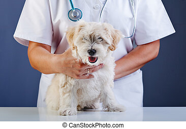 Small dog being examined at the veterinary doctor - sitting...