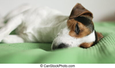 Jack Russell Terrier lying on the bed
