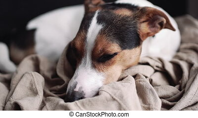 Small dog breed the Jack Russell Terrier lays on his place