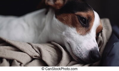 Small dog breed the Jack Russell Terrier lays on his place -...