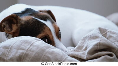 Jack Russell Terrier lays onlays on his place - Small dog...