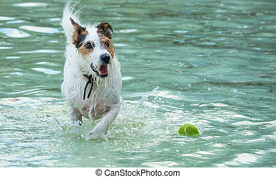 Small dog chasing tennis ball into a pool