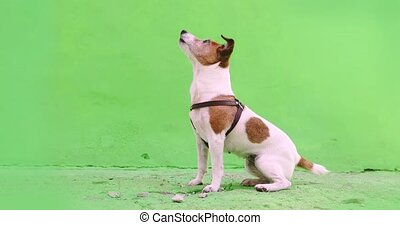 Small dog executes a command pet obedience workout on green...