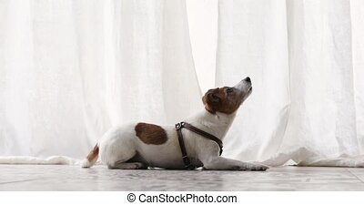 Small dog executes a command pet obedience workout - Active...