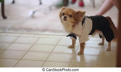 Small dog in celebration suit indoors