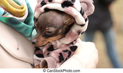 Small Dog in Clothes on Womans Hands - Small Dog in Clothes...